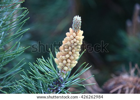 Young pine pollen - stock photo