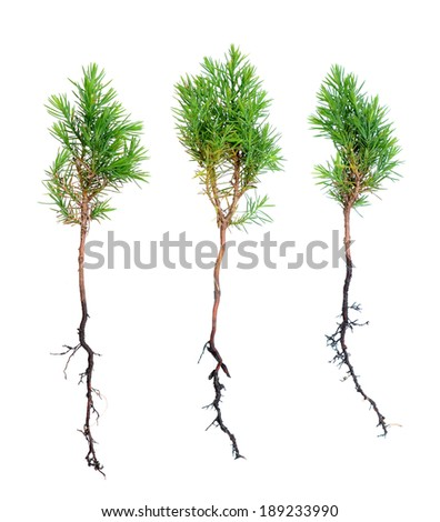young pine trees isolated on white background