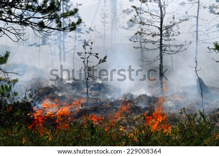Young pines in a smoke and on forest fire, Russia, Siberia - stock photo