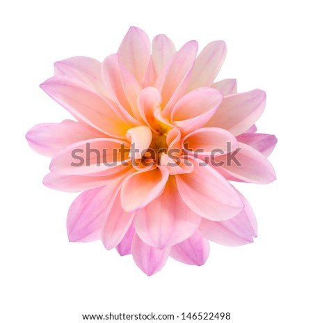 young pink chrysanthemum dahlia isolated on white  - stock photo