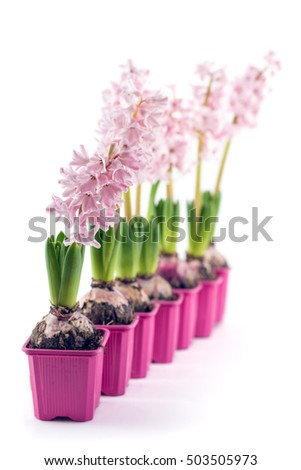 Young pink Hyacinth flowers seedlings with tuber, Hyacinthus orientalis in flower pot isolated on white background