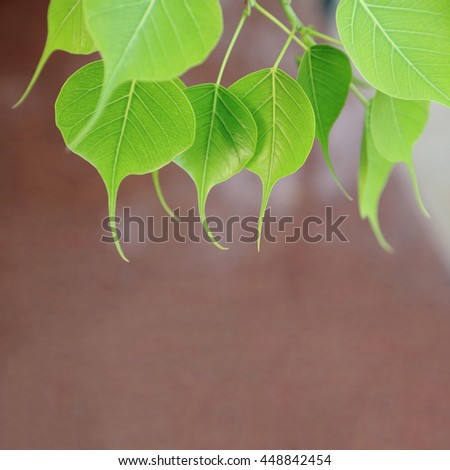 Young pipal leaves. Green leaf background. Spring scene natural background. - stock photo