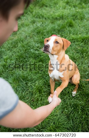Young Pit Bull and Labrador Mix Puppy Outside on Green Grass Being Trained