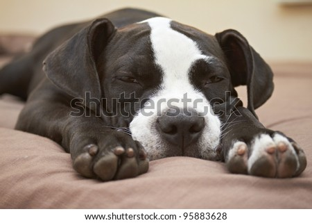 Young Pit Bull puppy asleep on comfortable bed - stock photo