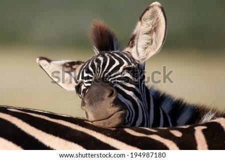 Young plains zebra with bold black and white stripes resting it's head - stock photo