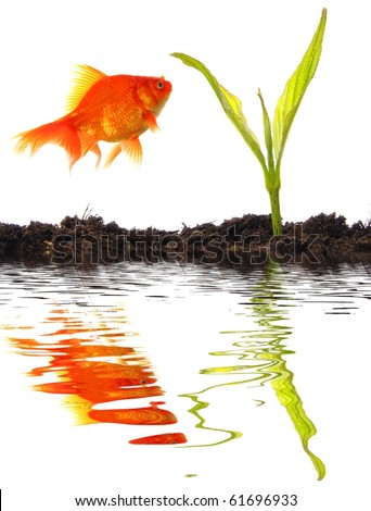 young plant goldfish and soil with water reflection showing growth and success - stock photo