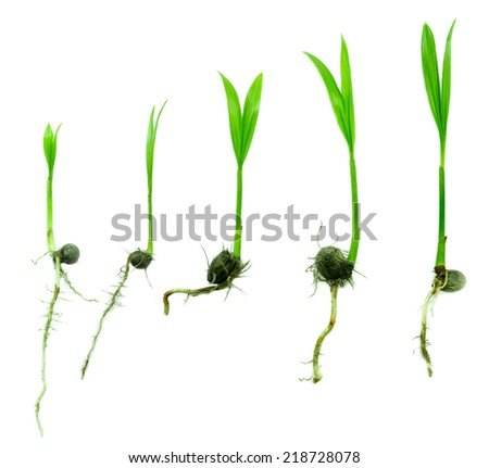 Young plant growing from seed  on white background - stock photo