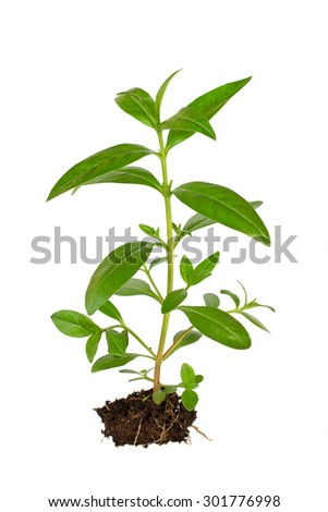 Young plant growing in a soil on white background - stock photo