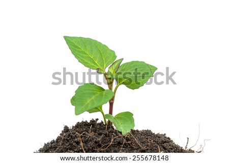 Young plant isolated on white