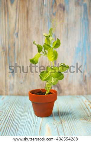 Young plant of pea, seedling in small ceramic pot on wooden background. Soft selective focus, rustic background - stock photo