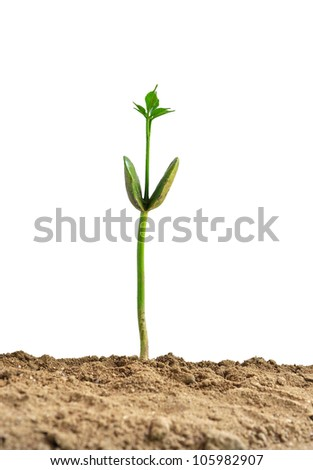 Young plant on the white backgrounds,santol seedlings