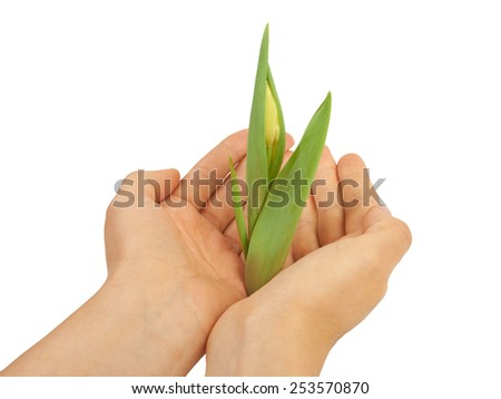 Young plant tulip in her hands - stock photo