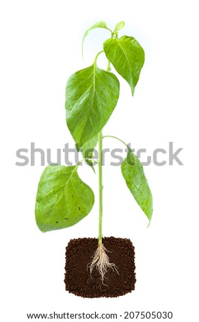 young plant with exposed roots in soil - stock photo