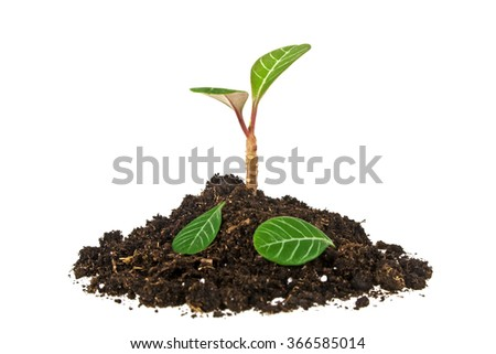 Young plant with fallen leaves and humus isolated on white background - stock photo