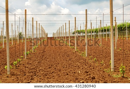 Young planting vitis , Doc Colli Berici , Vicenza Italy - stock photo
