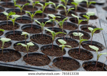 Young plants in nursery plastic tray, Nursery vegetable farm