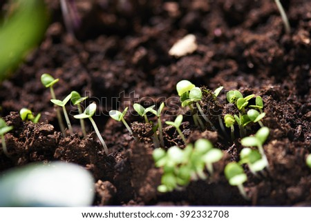 young plants of organic salad growing from nourishing soil. Selective focus