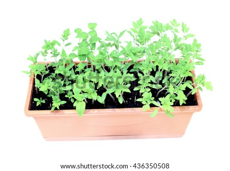 Young plants tomato seedlings in flowerpot isolated on white background - stock photo