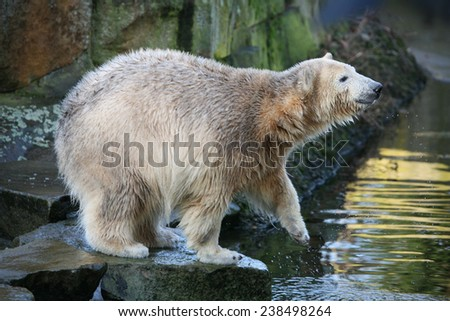 Young polar bear (Ursus maritimus).