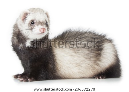 young polecat isolated over white background - stock photo