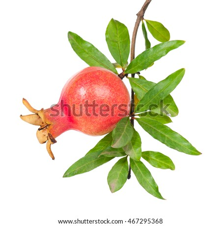 Young pomegranate fruit on a branch with leaves isolated on white background