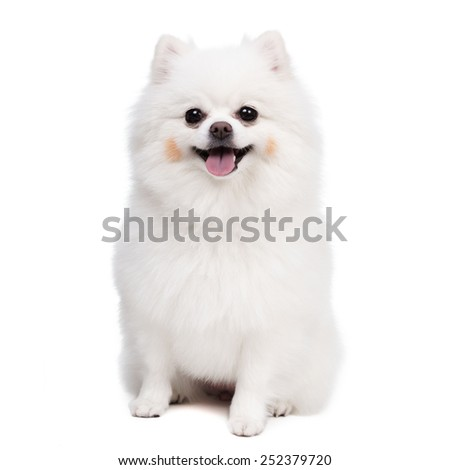Young Pomeranian smile - stock photo