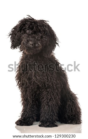 Young poodle - stock photo