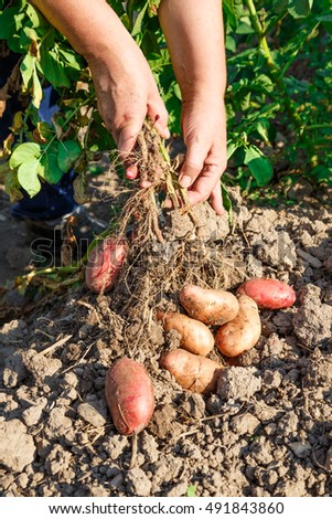 Young potato in soil with hands outside