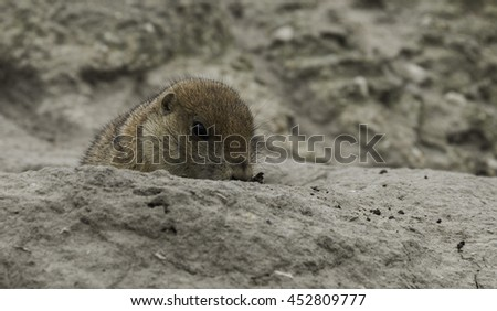 young prairiedog or cynomys coming out of the ground