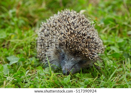 Young prickly hedgehog on a green grass in the meadow.