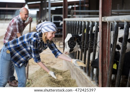 Young professional cowgirl taking care of cows in cows barn