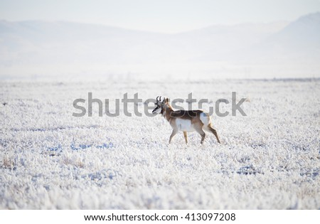 Young pronghorn antelope buck walking on the prairie in wintertime with all the prairie grasses covered in a thick hoar frost. Canyon Ferry, Montana - stock photo