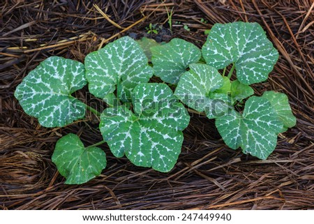young pumpkin plant in farm - stock photo