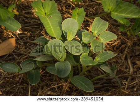 Young pumpkin plants just grown in farm - stock photo