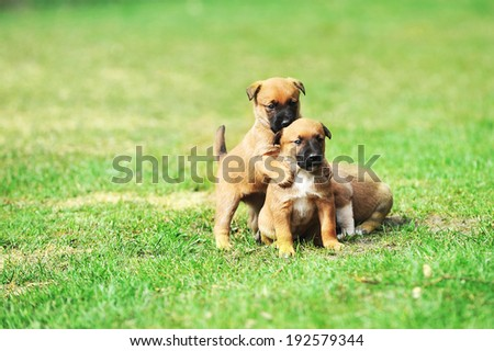 Young puppies belgian shepherd malinois in  field with copy space. - stock photo