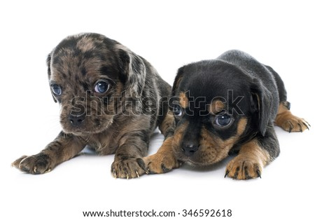 young puppies chihuahua in front of white background
