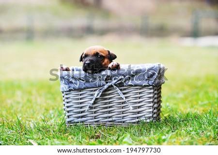 young puppy belgian shepherd malinois in box  - stock photo