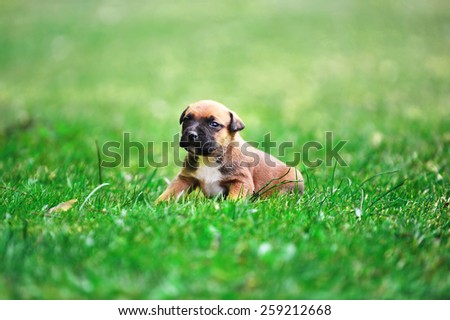 young puppy belgian shepherd malinois in  field - stock photo