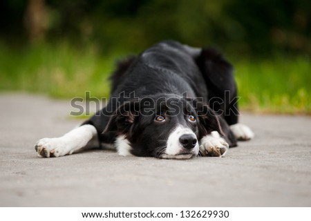 young puppy border collie lying in a park in summer - stock photo