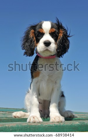 young puppy cavalier king charles tricolor sitting on a table - stock photo