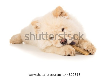 Young puppy chow chow gnaws bone isolated - stock photo