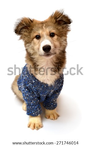 Young puppy dog wearing a fashionable sweater isolated on a white background - stock photo
