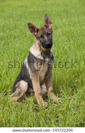 young puppy of a German Shepherd sitting on green grass