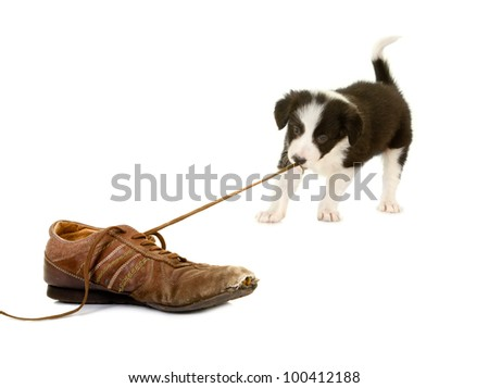 Young puppy of 5 weeks old pulling the lace of an old shoe - stock photo