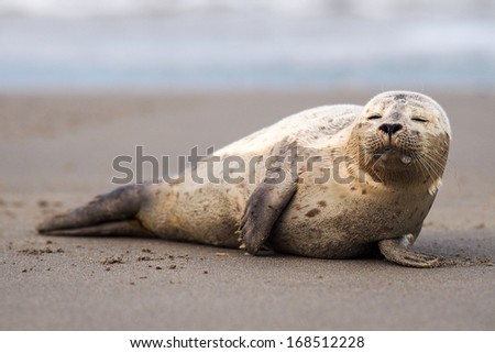 young puppy seal on the beach - stock photo