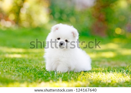 Young puppy Spitz loks at the camera - stock photo