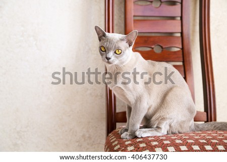 Young pussycat sits gracefully on the chair - stock photo