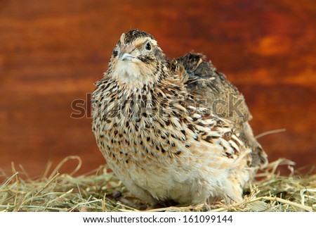 Young quail on straw on wooden background  - stock photo