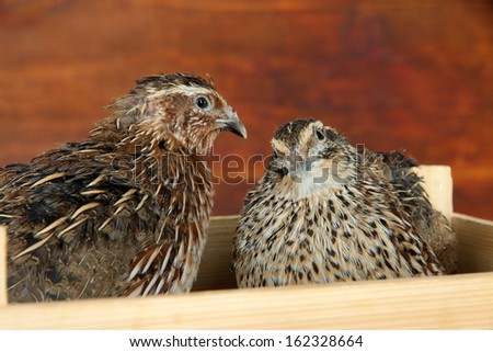 Young quails in wooden box on straw on wooden background  - stock photo