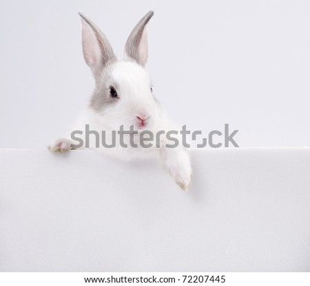 young rabbit with white card studio shot - stock photo